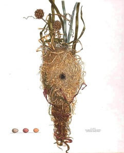 engraving of a marsh wren nest