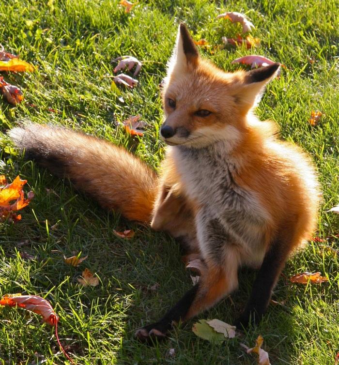 Fox Spirit I am PayingAttention!