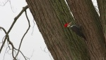 pileated woodpecker seeking bugs